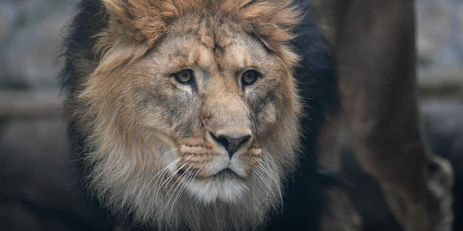 Des braconniers dévorés par des lions — Afrique du sud