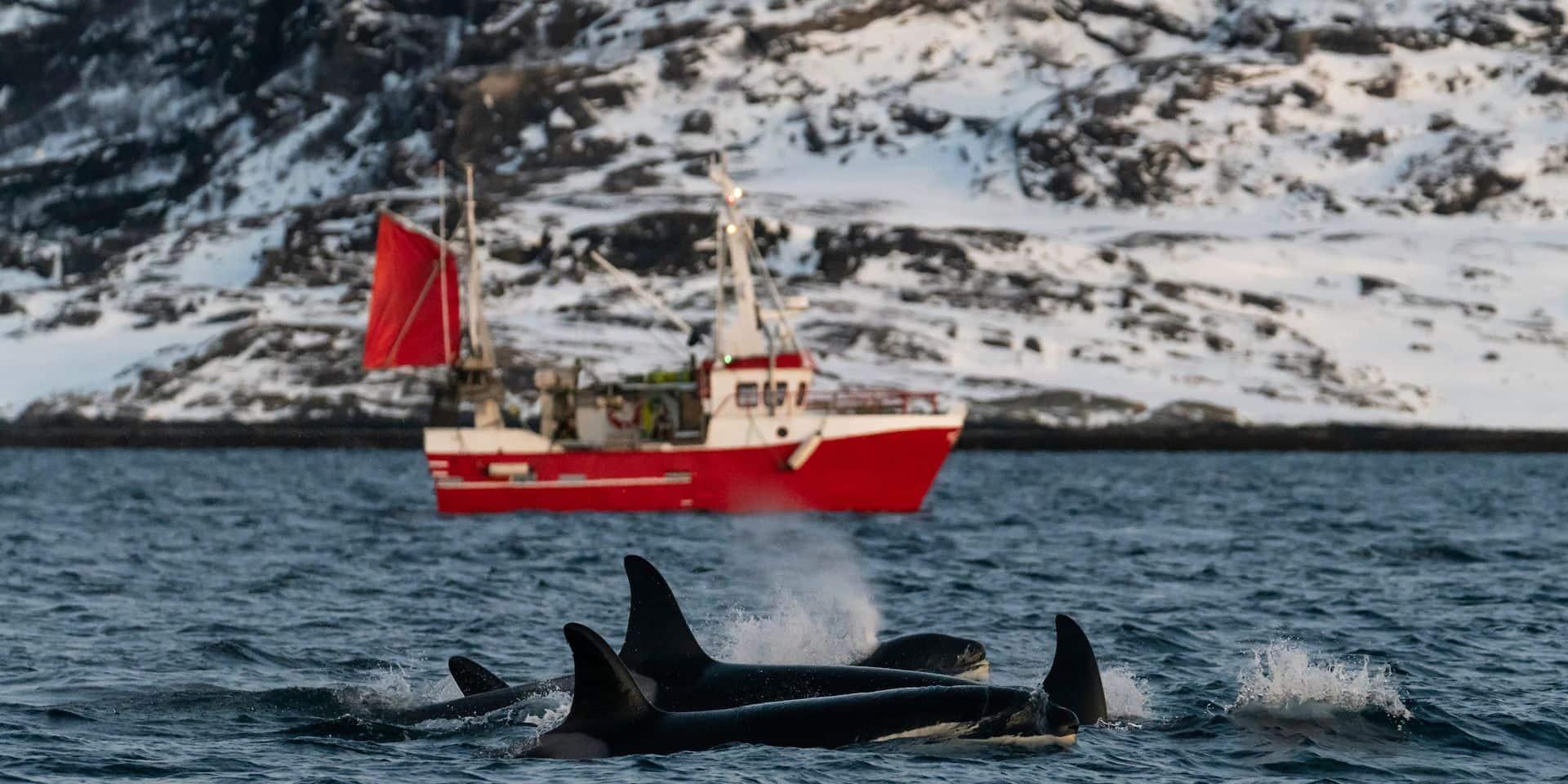 """Plus de 570 baleines pêchées en Norvège cette année : """"Le massacre d'un si grand nombre de baleines est un écocide"""""""