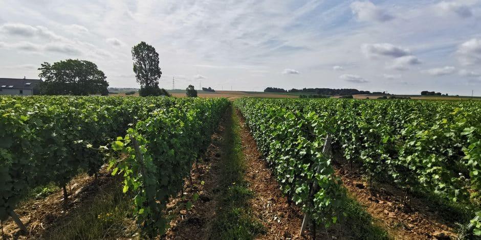 Une centaine de pieds de vigne volés au Domaine W à Tubize