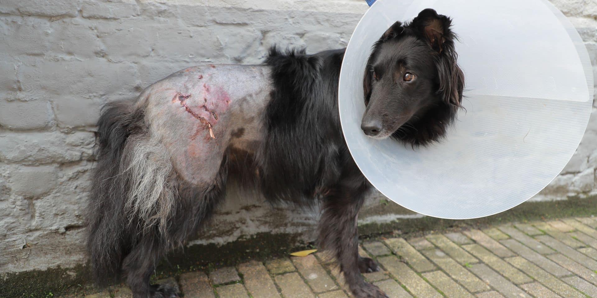 """Peggy et sa chienne attaquées par deux chiens : """"Ils mordaient pour tuer"""""""