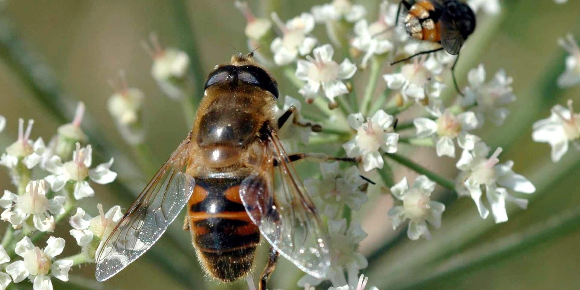 Bruxelles : La moitié des colonies d'abeilles mortes cet hiver