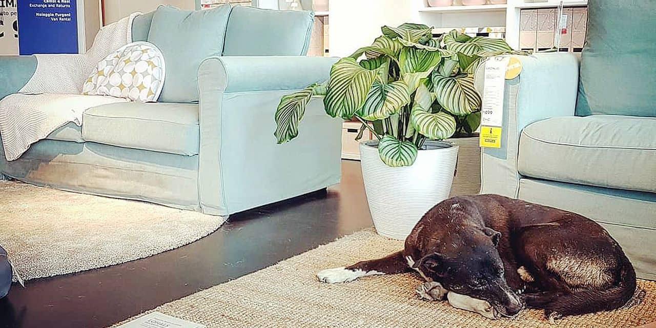 Un Ikea sicilien ouvre ses portes aux chiens errants pour qu'ils se reposent