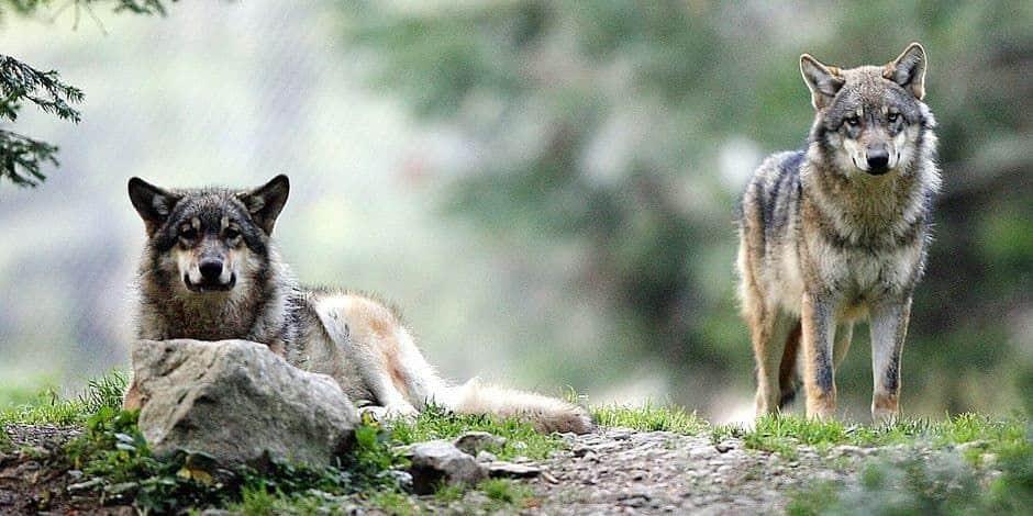 Flobecq: ils vont manifester contre le projet de parc aux loups!