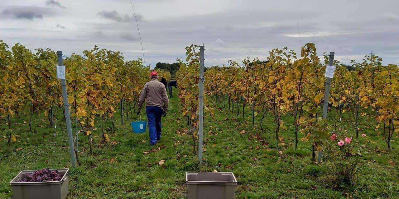 """Des vendanges """"de qualité plutôt que de quantité"""" au Vignoble de Sirault"""