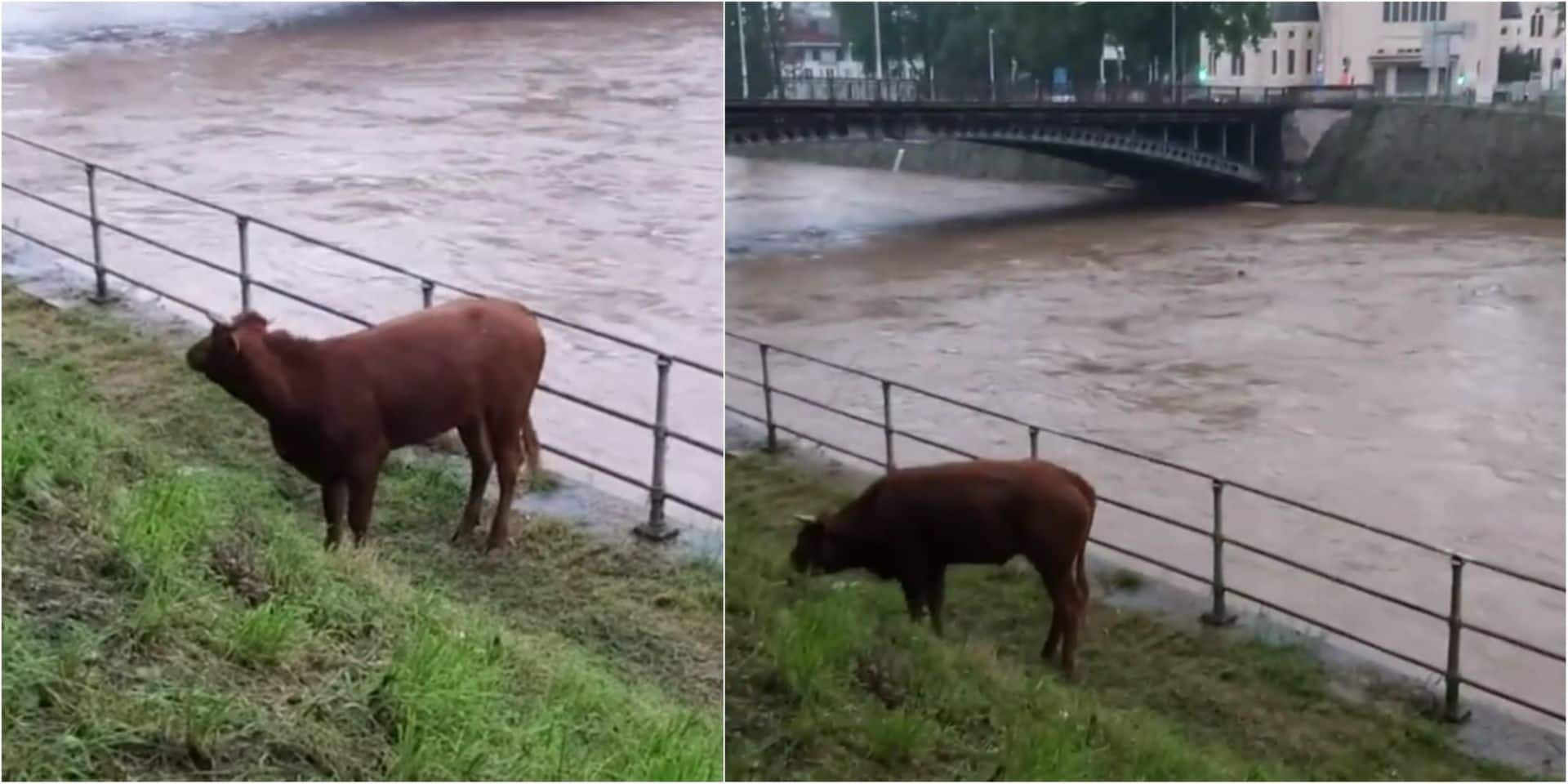 Emportée par le courant, une vache se retrouve dans le centre de la ville de Liège (VIDEO)