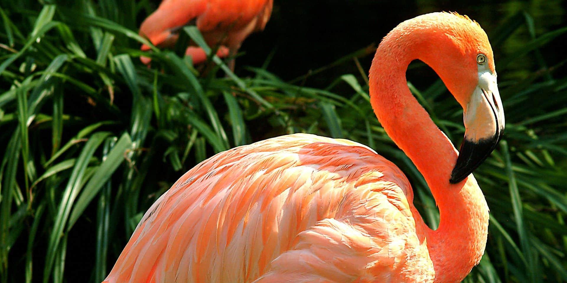 Naissance d'un petit flamant rose au zoo d'Anvers
