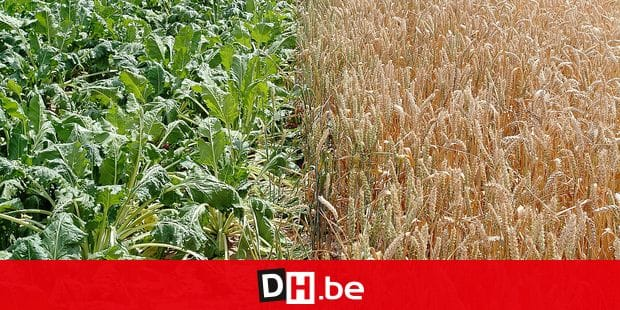 Secheresse culture agriculture betterave cereale