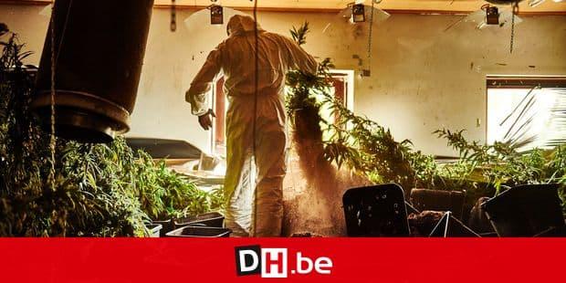 Au terme de la perquisition, l'arrachage de centaines de plants de cannabis s'avère fastidieux.