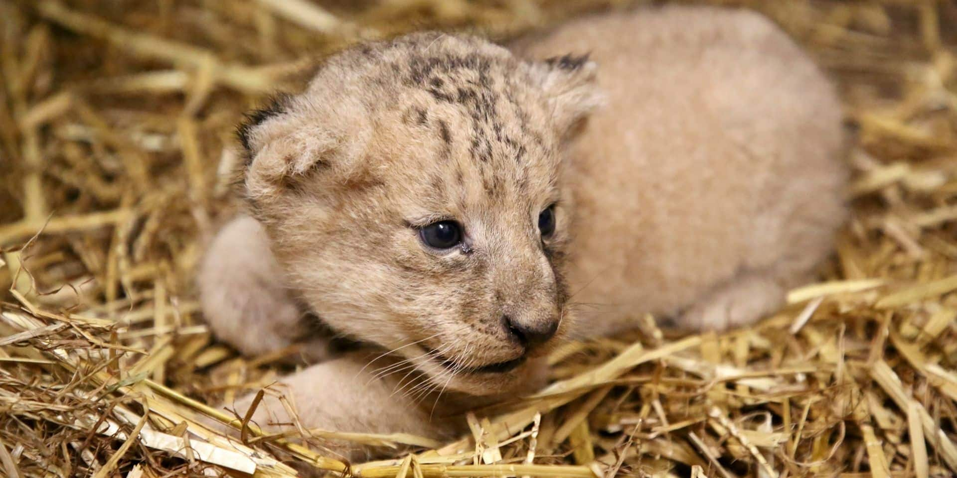 Un lionceau est né à Pairi Daiza