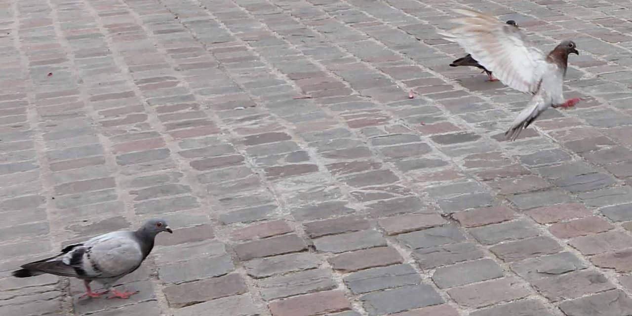Laeken : Des graines contraceptives pour diminuer la population des pigeons