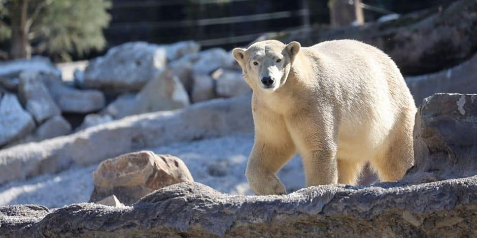 Les ours polaires sont arrivés au parc Pairi Daiza !