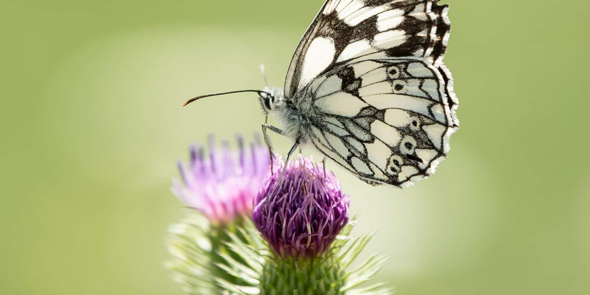 Comment attirer des papillons chez soi... et les compter