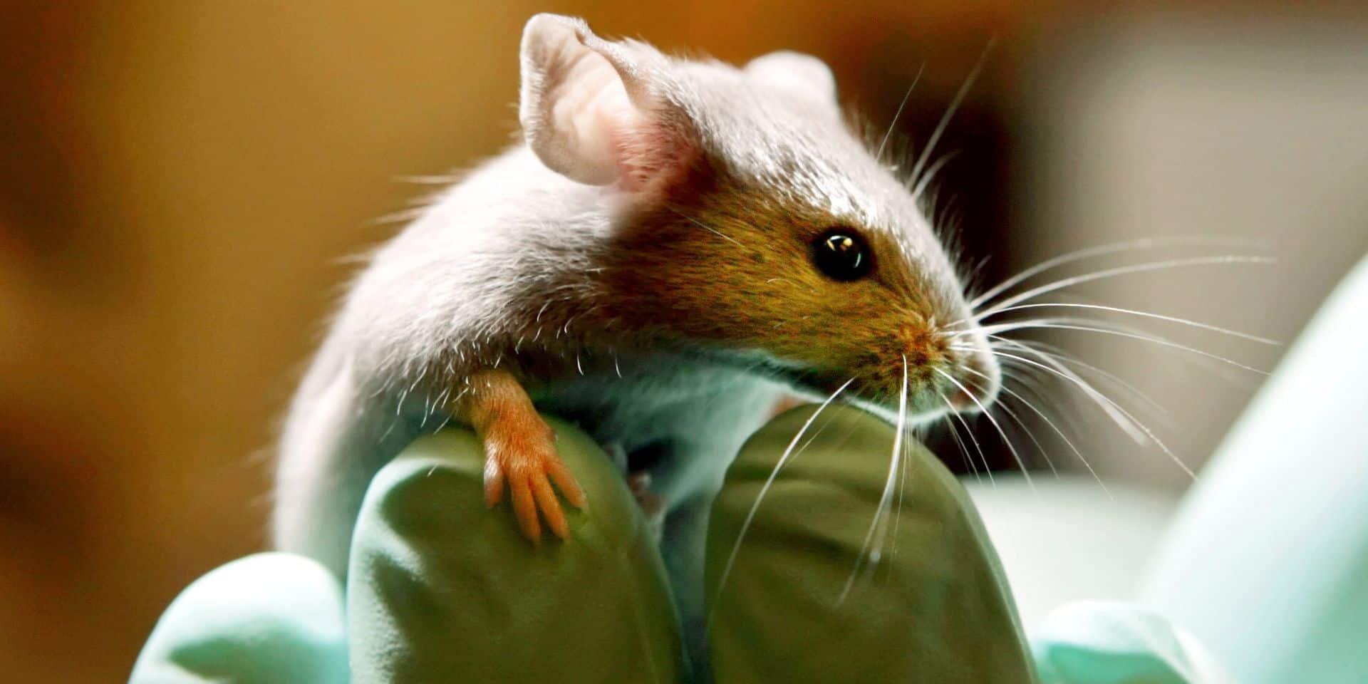 La Belgique est le cinquième pays européen qui réalise le plus d'expériences sur des animaux de laboratoire