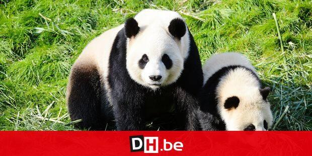 Illustration panda baby P Pairi Daiza parc animaux nature zoo Illustration panda baby P Pairi Daiza park animals nature zoo copyright: F.Andrieu/AgencePeps/Reporters Reporters / Andrieu