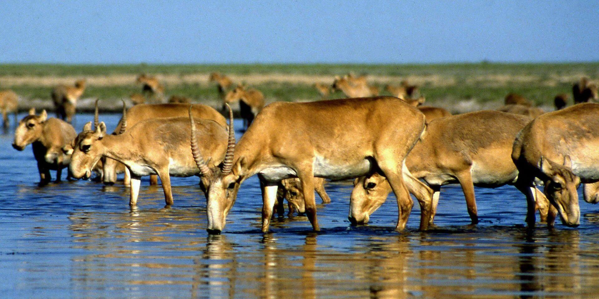 350 antilopes saïga menacées tuées par la foudre