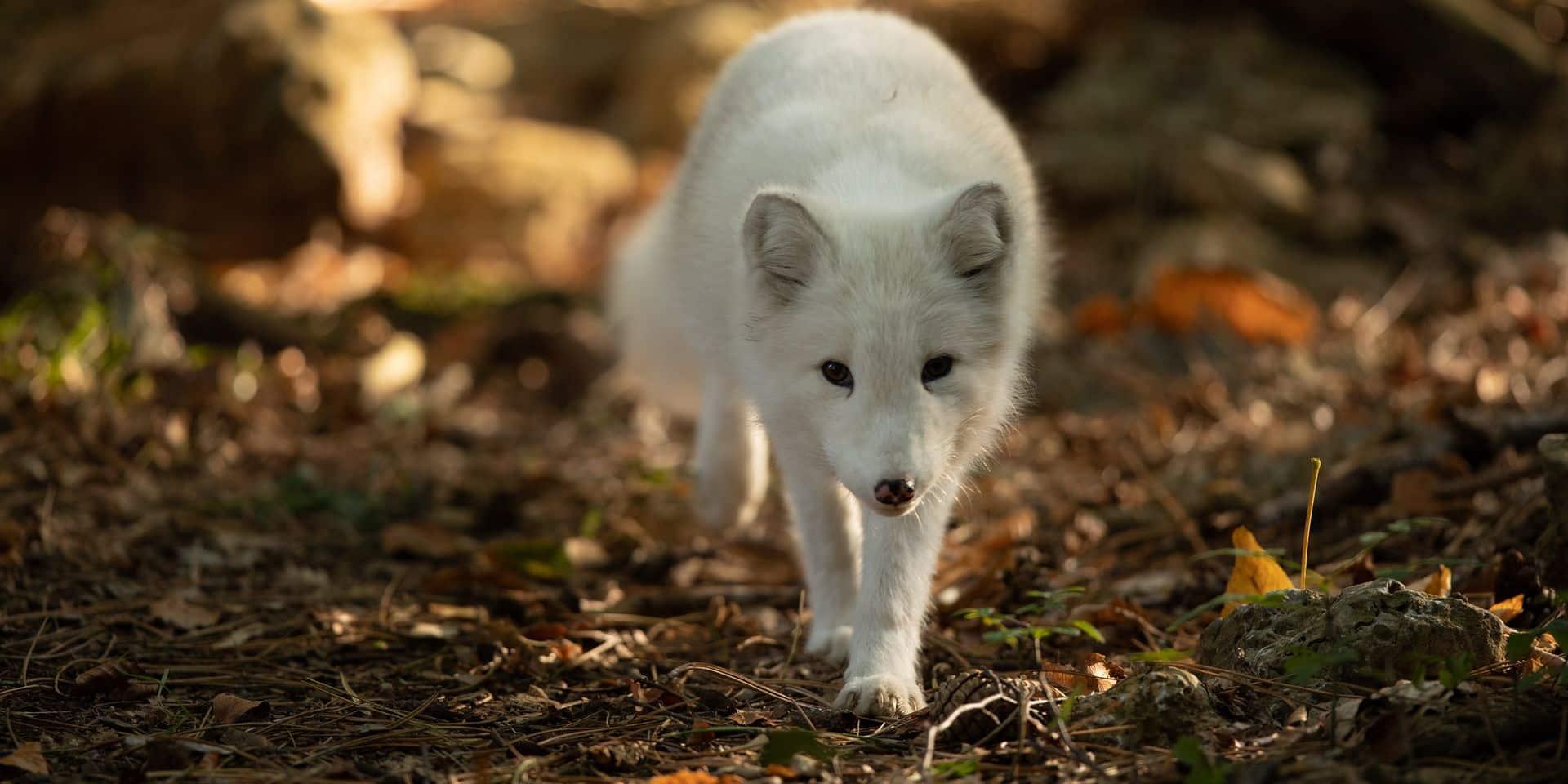 Han : trois jeunes renards polaires s'installent dans le Parc Animalier