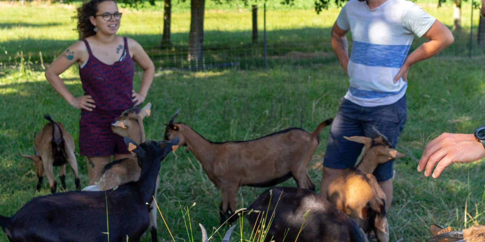 Onhaye : les sapins de Noël récoltés pour nourrir les chèvres