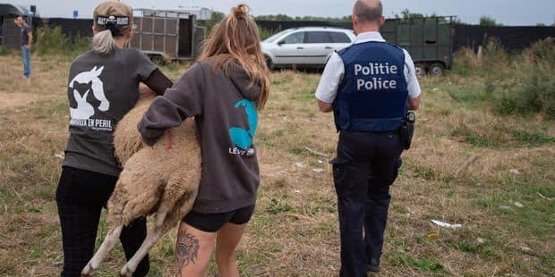 65 jeunes moutons détenus dans des conditions déplorables à Haren! - La DH