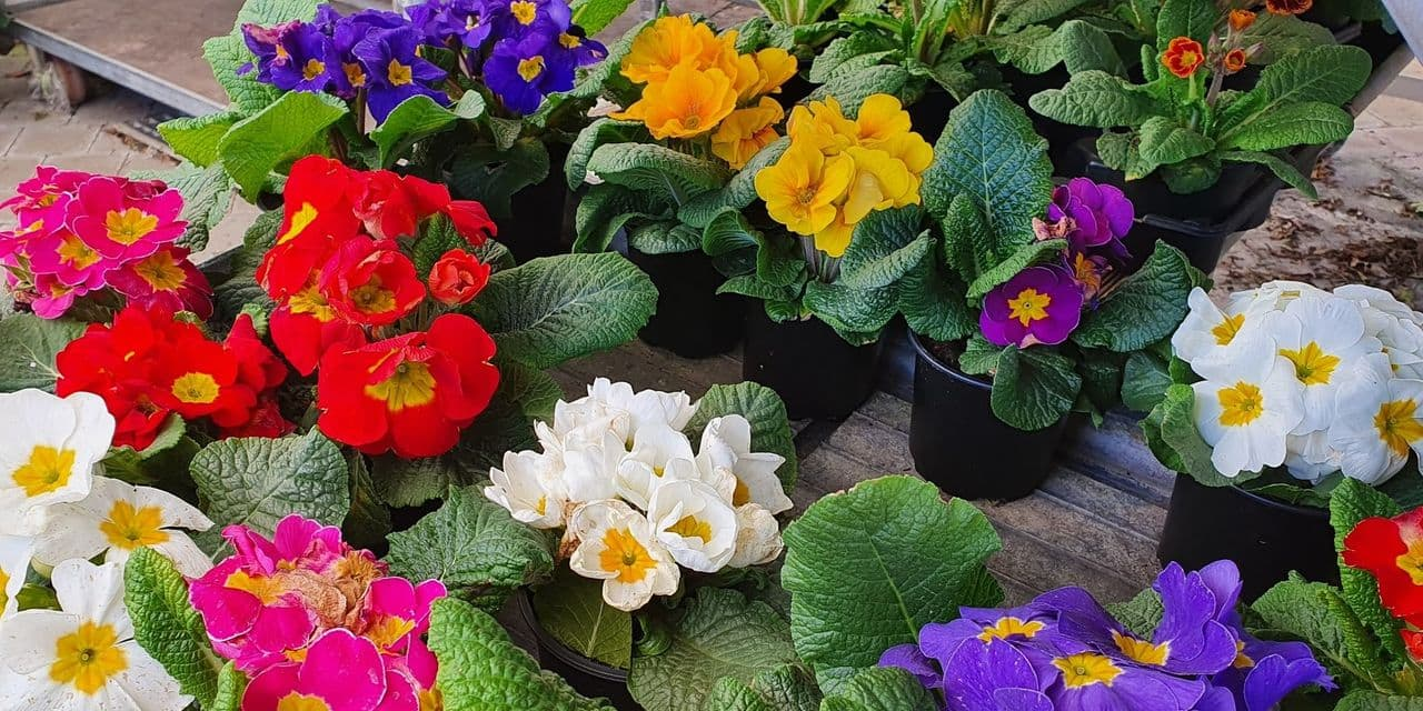 Au jardin : Avec les primevères, bientôt le sacre du printemps !