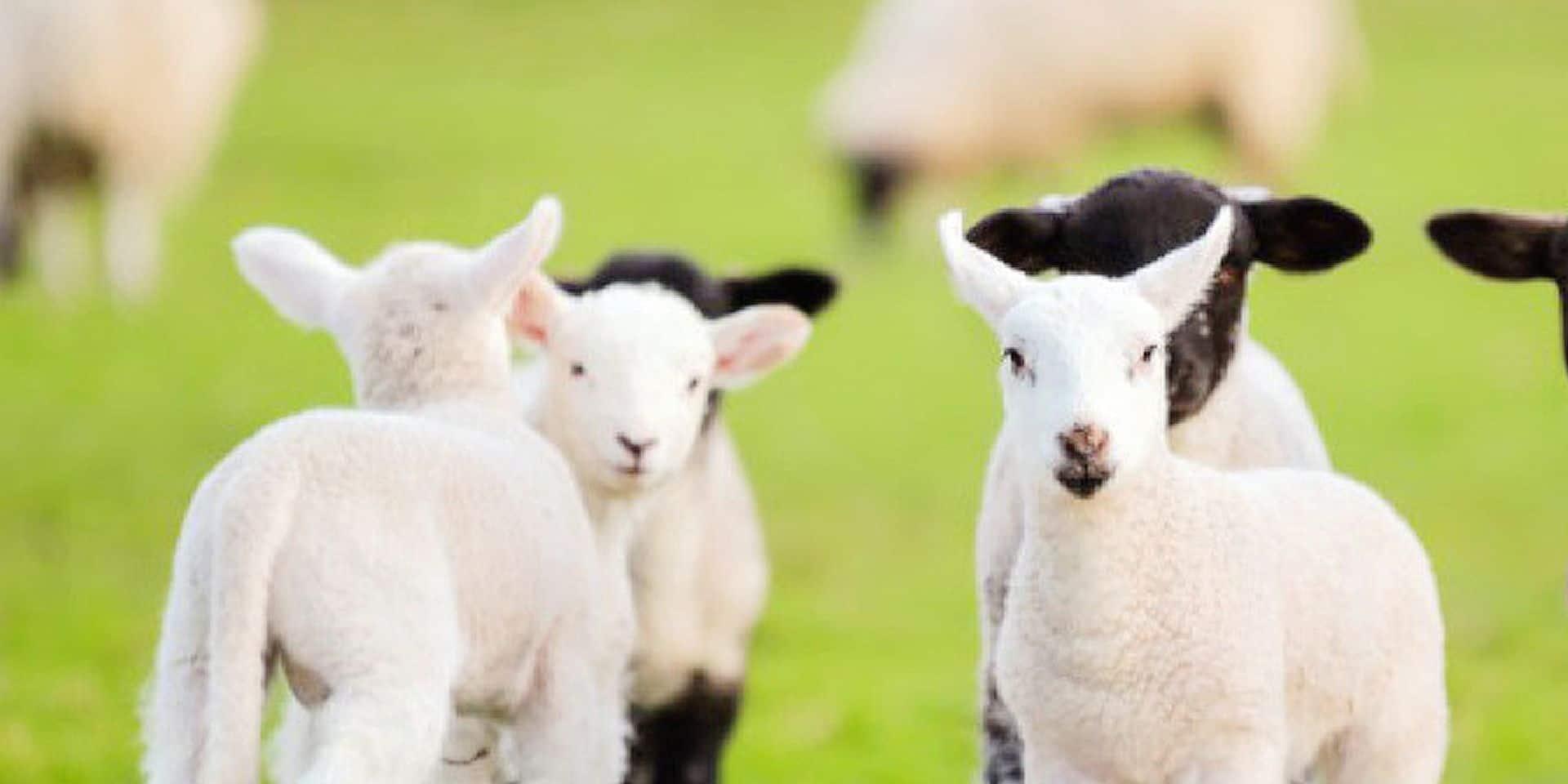 Le charme gourmand de l'agneau britannique