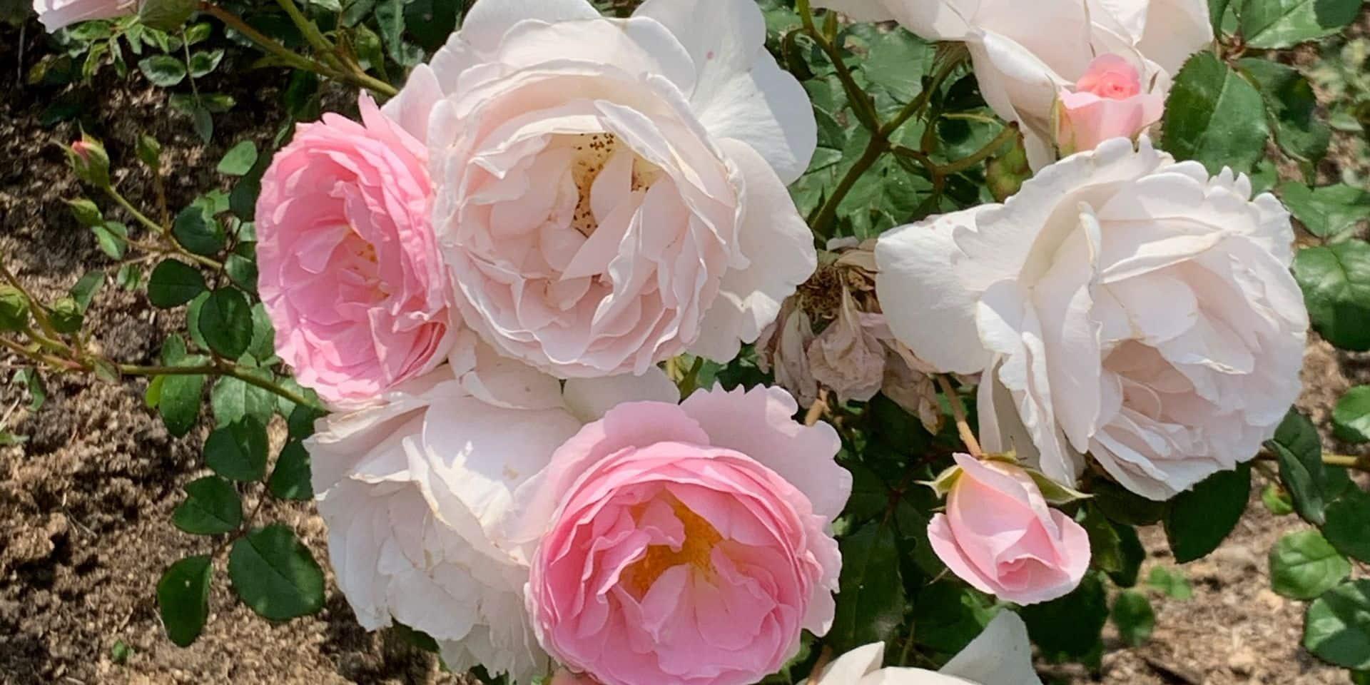 La rose, fleur préférée de bien des jardiniers, à l'honneur dans la nouvelle roseraie de Meise