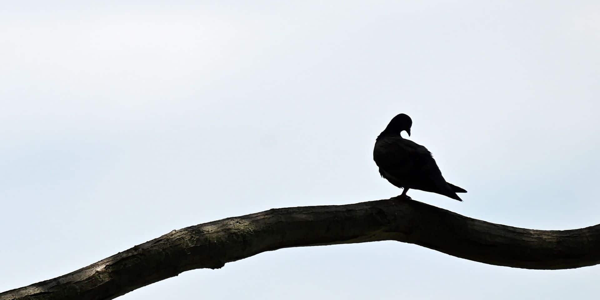 Confirmation d'un cas de paramyxovirose chez un éleveur de pigeons à Eghezée