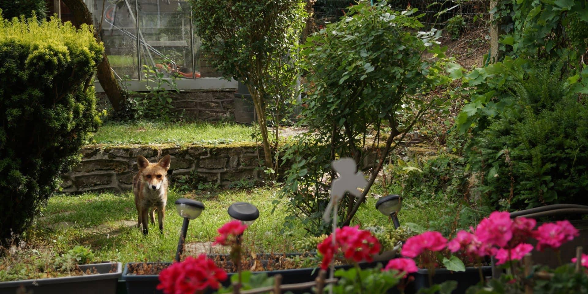 """Les renards à Bruxelles : """"C'est un fléau, ils détruisent nos jardins et font peur à nos animaux de compagnie"""""""