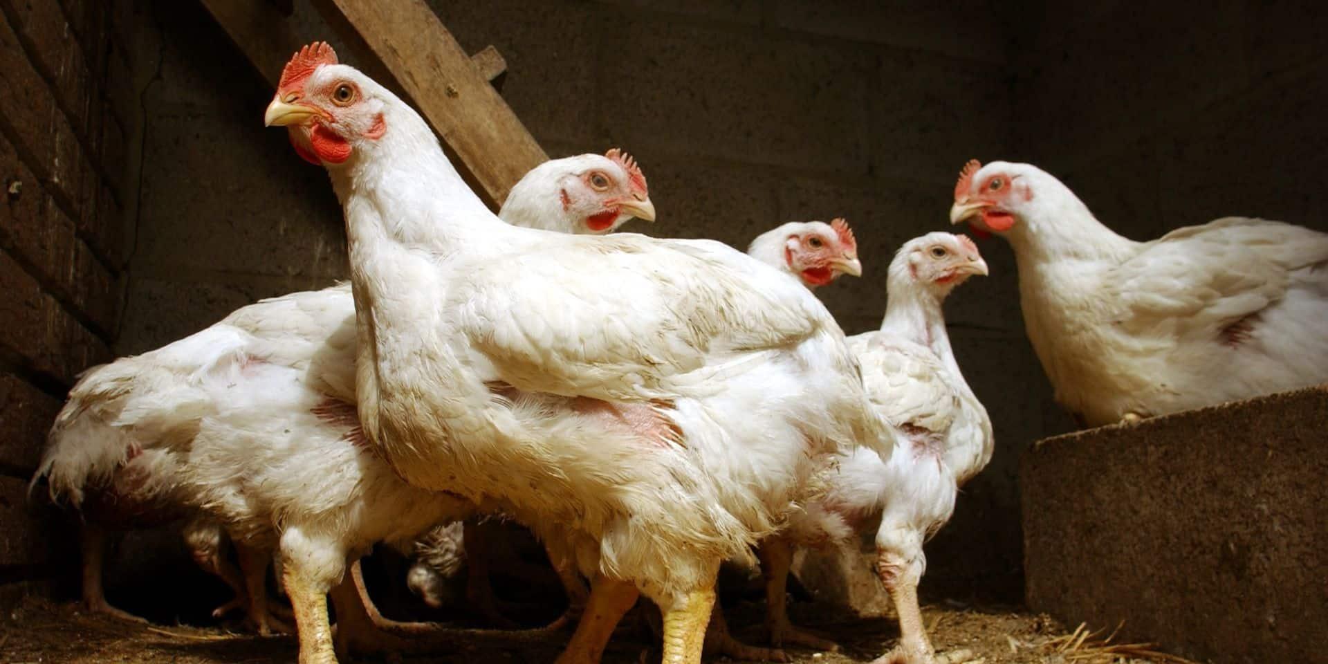 Grippe aviaire: les Pays-Bas abattent 190.000 poulets dans deux élevages