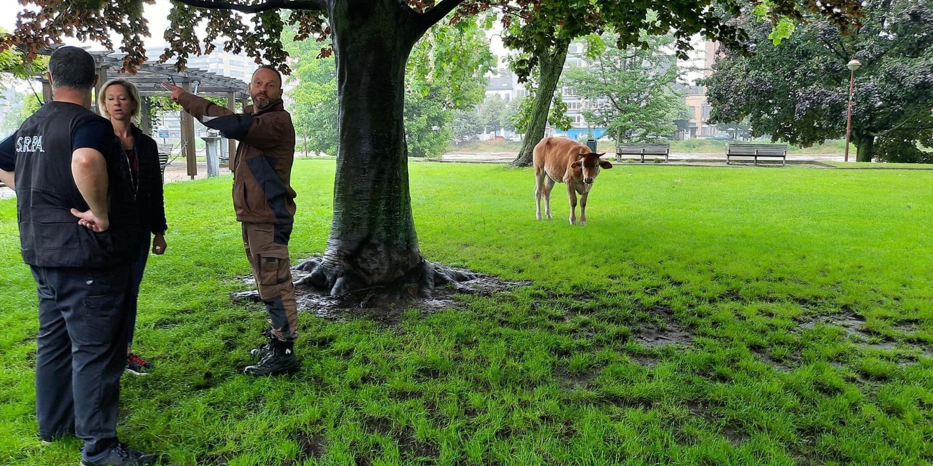 Liège : Une vache sauvée après avoir été emportée par les eaux