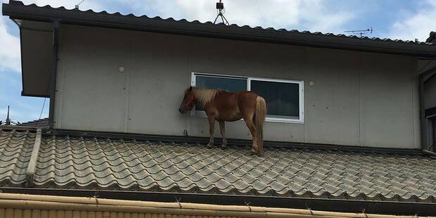 Un poney survit à une inondation en grimpant sur un toit - La DH