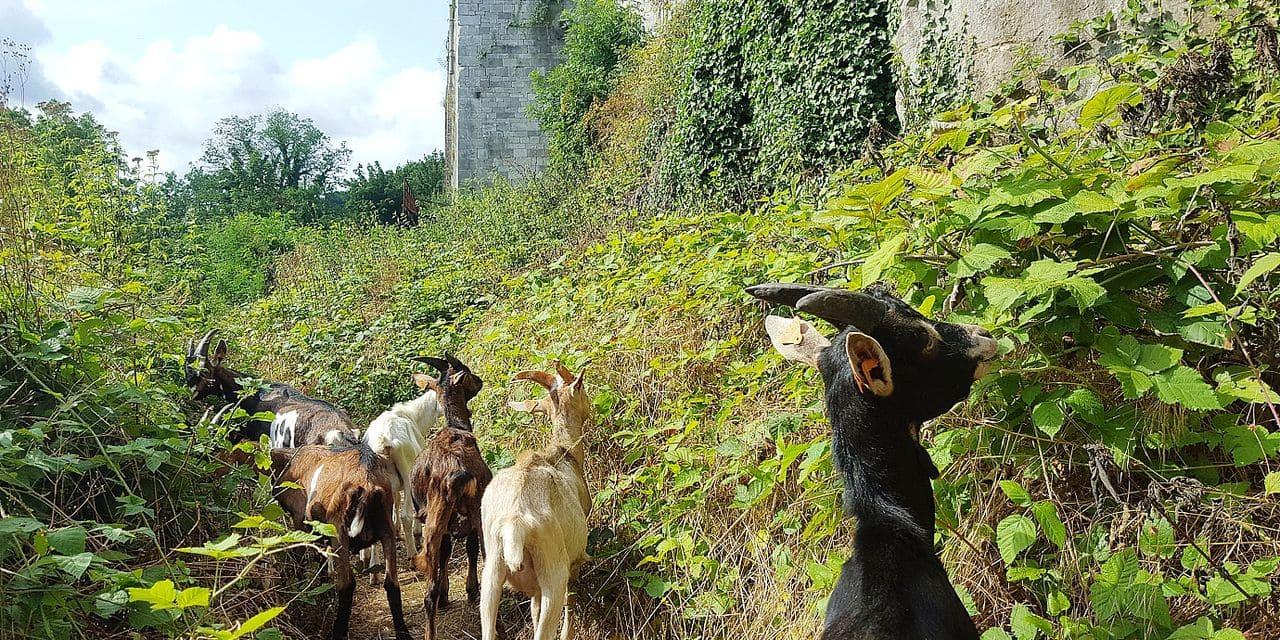Six boucs pour entretenir les abords du fort de Huy