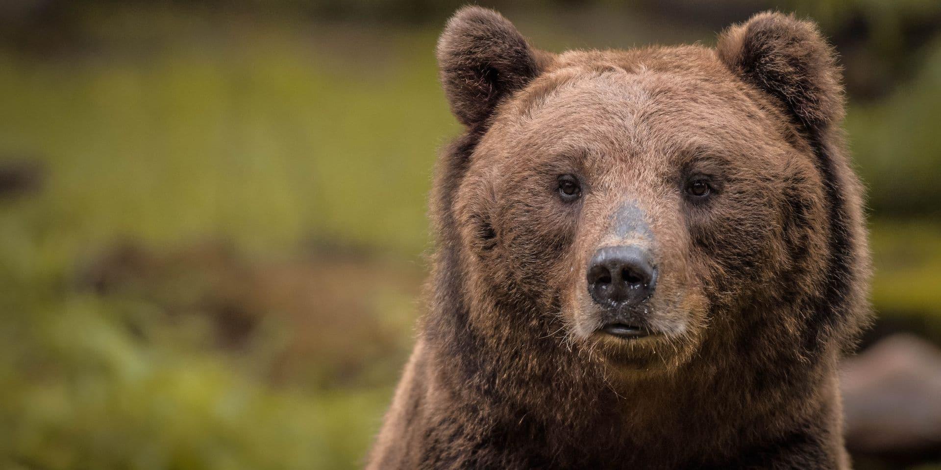 """Un prince accusé d'avoir tué """"le roi des ours"""" en Roumanie"""