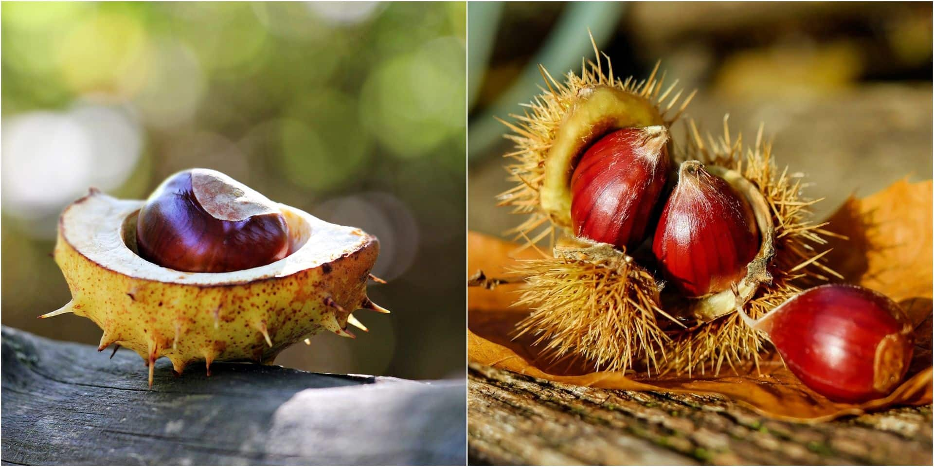 Châtaignes et marrons : quelles différences ? (INFOGRAPHIE)