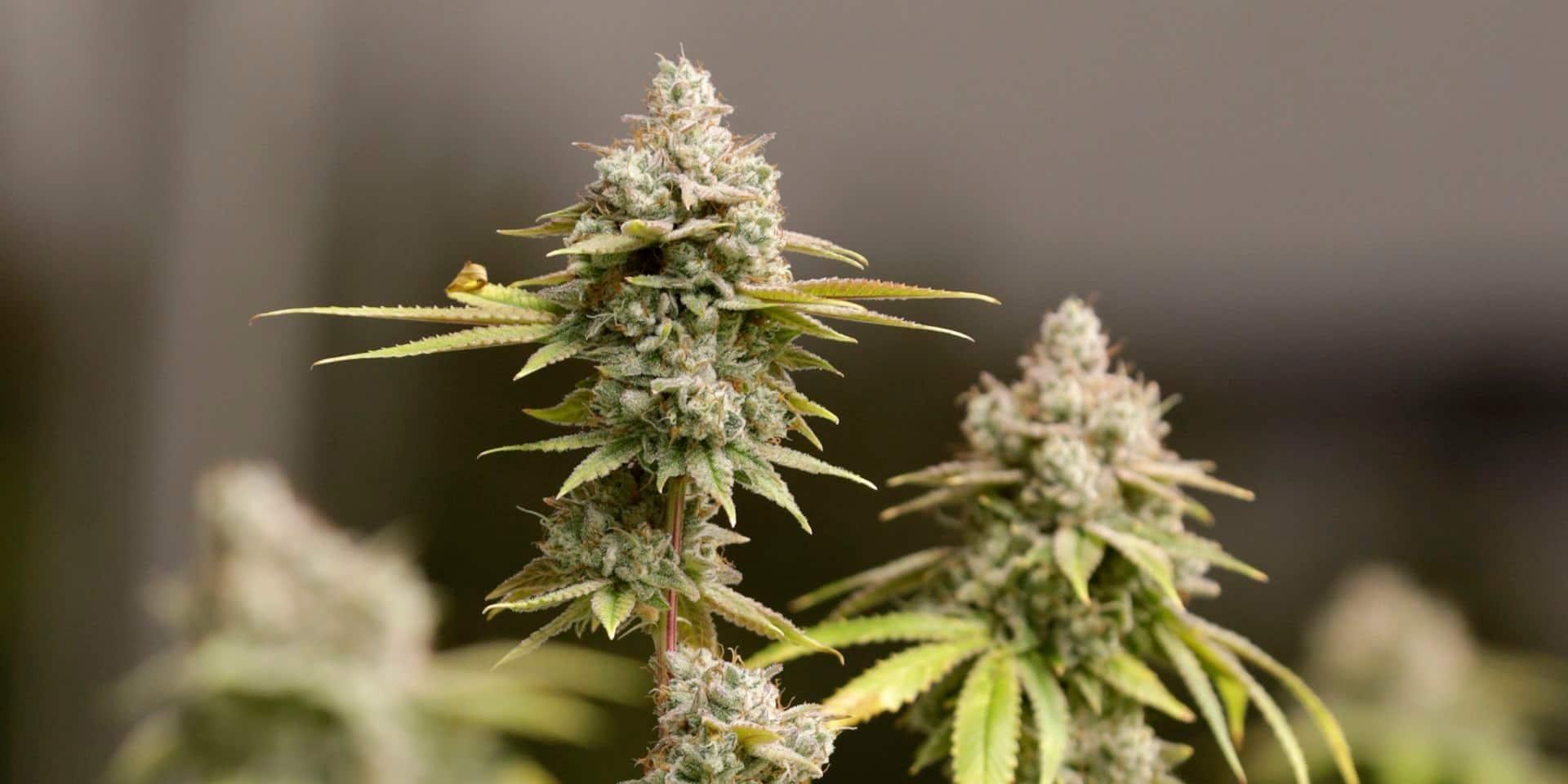 Il pensait que le cannabis était un médicament